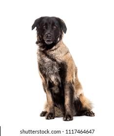Estrela Mountain Dog, 5 years old, sitting against white background