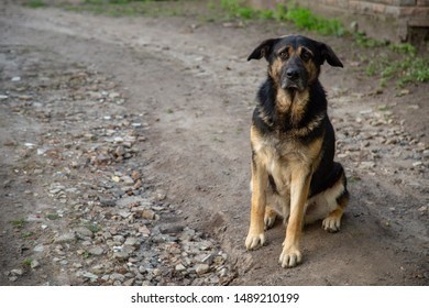 Estrela Mountain Dog looking into the camera with sadness in its eyes.