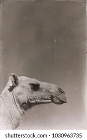 in  ethiopia africa   camel in the sky like abstract background