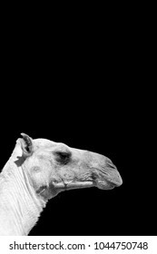 Ethiopia africa   camel in the sky like abstract background