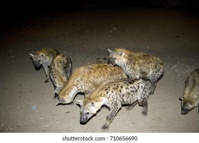 Ethiopia , ethiopin animals, hyena