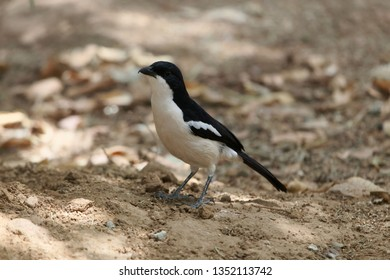 An Ethiopian boubou bird, Laniarius aethiopicus, on a forest floor.