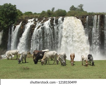 Ethiopian cattle grazing in front of the Blue Nile Falls (Tis Abay) Bahir Dar, Amara region/Ethiopia - May 21 - 2008