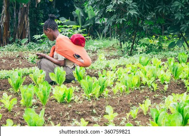 Ethiopian farmer picking lettuce in a orchard in Ethiopia