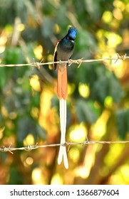 Ethiopian flycatcher sitting on a wire fence
