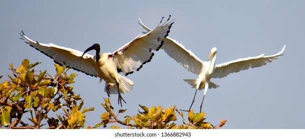 Ethiopian Ibis and Heron flapping their wings in a tree
