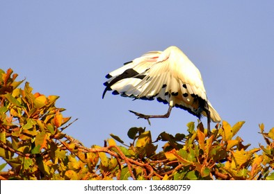 Ethiopian Ibis walking in a tree with winds outstretched