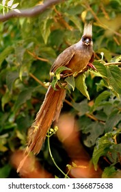 Ethiopian mousebird in a tree staring at the camera