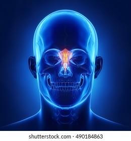 Ethmoid bone - os ethmoidale
