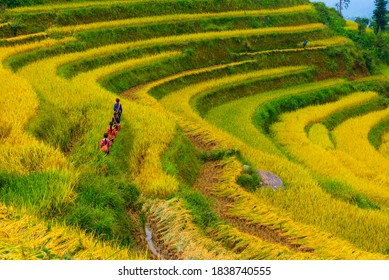 Ethnic children are playing on the beautiful golden terraced rice fields in Hoang Su Phi District (Ha Giang Province, Northeast Vietnam).