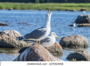 Ethology. Reproduction behavior of birds. Scandinavian Herring gull (Larus argentatus omissus). Gull long call  in situation of interaction with partner and neighbors in bird colony. Baltic