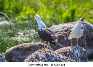 Ethology. Reproduction behavior of birds. Scandinavian lesser black-backed gull (Larus f. fuscus). Long call  in situation of interaction with neighbors in bird colony. Mirror symmetry. East Baltic