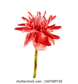 Etlingera elatior with green stalk, Red torch ginger flower isolated on white background, with clipping path