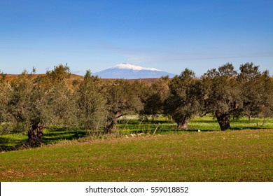 Etna Volcano and olive tree. Road-trip in Sicily - South Italy - landscape. Others in my gallery