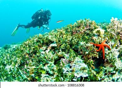 Etoile de mer rouge (Echinaster sepositus)