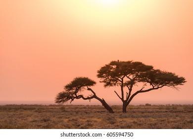 Etosha Acacia Tree Sunrise, Etosha National Park, Namibia