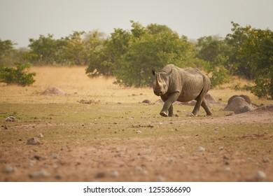 Etosha landscape. Endangered Black rhinoceros, Diceros bicornis. Direct, low angle view on rhino in dry savanna staring at camera. Wildlife photography, Etosha national park, Namibia.