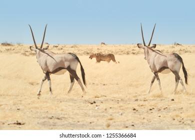 Etosha landscape. Two large antelopes with spectacular horns, Gemsbok, Oryx gazella, watching the lioness. Animal scene on dry african savanna.  Wildlife photography, Etosha national park, Namibia.
