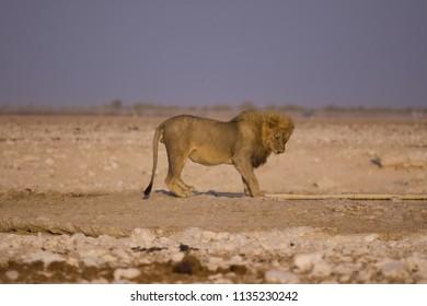 etosha lion in namibia africa