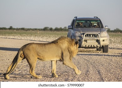 ETOSHA NATIONAL PARK, NAMIBIA - January 7, 2016: Lion is going on the ground road with tourists in a safari car in the background