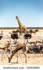 Etosha National Park, wild animals at the waterhole M'bari