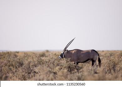 etosha wildlife in namibia africa