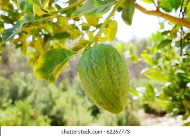 Etrog (citron) on a branch. A fruit used in Sukkot jewish holiday