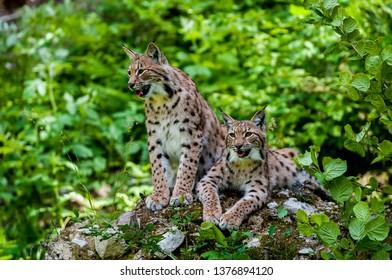 Euarasian Lynx (Lynx lynx) siblings in nature of National Park Velka Fatra, Slovakia