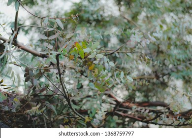 Eucaliptus globulus tree foliage outdoors. Round and long leaves on branches