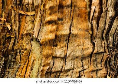 Eucalyptus bark closeup, texture and abstraction