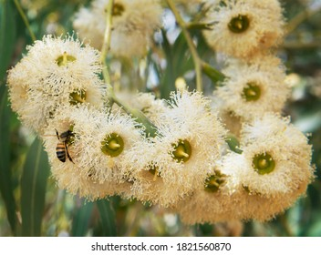 Eucalyptus blossom and one bee collecting nectar. Maltese nature. Malta flora. Eucalyptus tree and bee