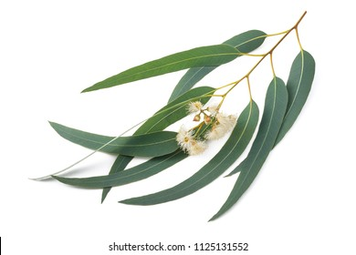 Eucalyptus branch with flowers  isolated on white