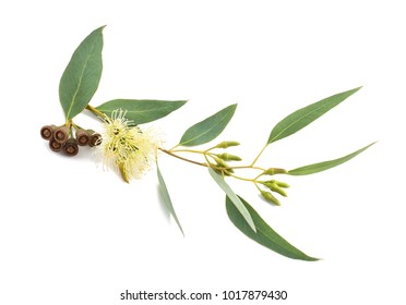 eucalyptus branch with flowers and seeds isolated on white