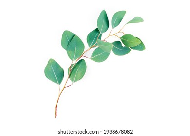Eucalyptus branch isolated on white background. Eucalyptus leaves, flat lay, top view with copyspace for text. Minimal botanical design.