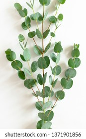 Eucalyptus branch on a white background