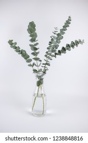 Eucalyptus branches in glass vase on white background