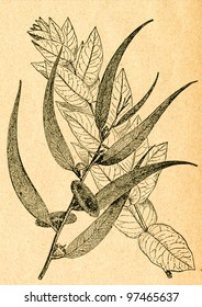 Eucalyptus branches, from young and old tree - old illustration by unknown artist from Botanika Szkolna na Klasy Nizsze, author Jozef Rostafinski, published by W.L. Anczyc, Krakow and Warsaw, 1911