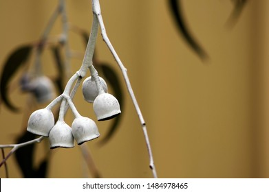 Eucalyptus Caesia, commonly known as Caesia, is a mallee that is endemic to the south-west of Western Australia. Silver Princess seed pods  hanging from a branch with a fawn background.