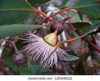 Eucalyptus dives.  Broad-leaf peppermint gum