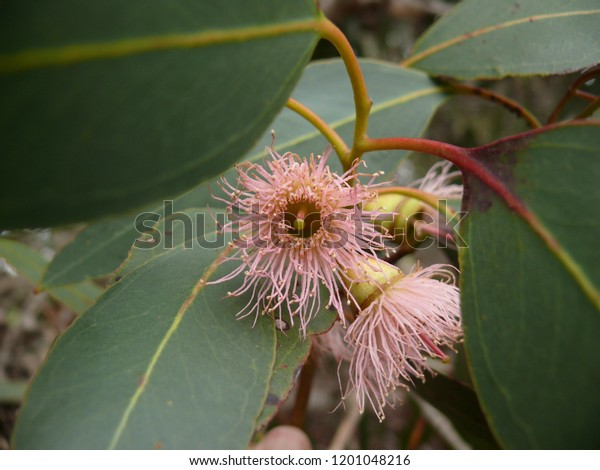 Eucalyptus dives.  Broad-leaf peppermint gum