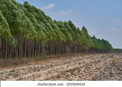 Eucalyptus field  in Thailand.
