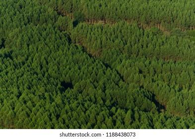 Eucalyptus florest in Brazil.