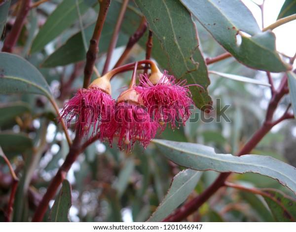 Eucalyptus Flower Mt Trio Bushcamp Stirling Range National Park