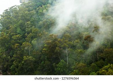 eucalyptus forest - blue mountains national park