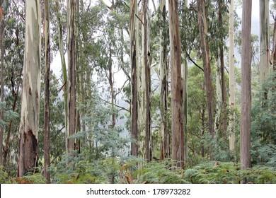 Eucalyptus Forest High Country, Victoria, Australia 2
