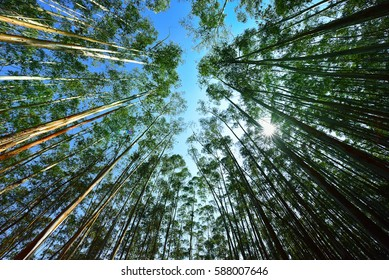 Eucalyptus forest at Munnar, Kerala. Wide angle view from below against blue sky. Arbor Day.