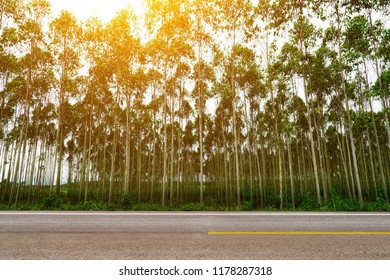 Eucalyptus forest at sunset background, eucalyptus forest for paper industry.