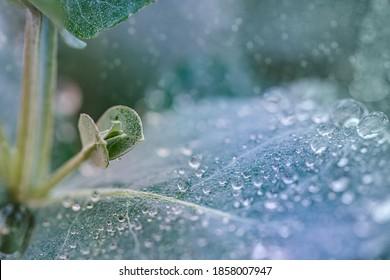 Selektiver Fokus. Eukalyptus globulus verlässt mit Wassertropfen, Nahaufnahme-Makro. Eukalypt Südblaue Kaugummi Pflanze im Garten an regnerischen Tagen. Farbverlauf-Trend 2021 auf idewater, grüner Hintergrund