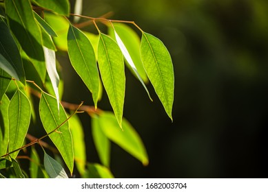 Eucalyptus green leaves abstract background with copy space, natural medical background