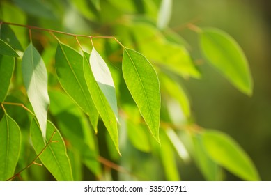Eucalyptus green leaves abstract background with sun shining and copy space